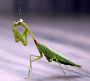 663px-praying_mantis_india